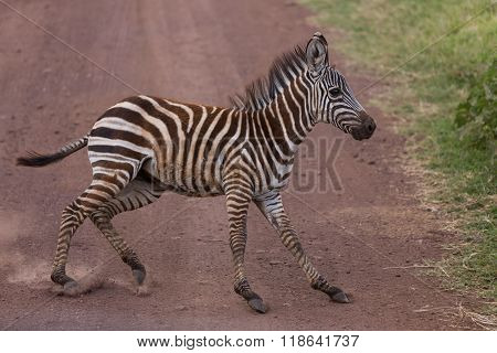 A Young Zebra Suddenly Stopping