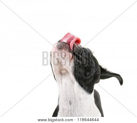 a cute baby boston terrier on a white background with her tongue out
