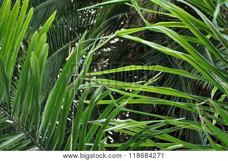 Chinese Fan Palm Tree Leaves In The Jungle