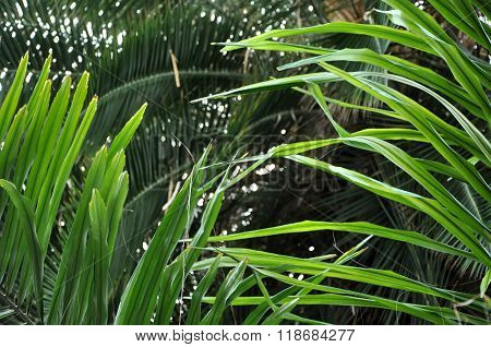 Chinese Fan Palm Tree Leaf