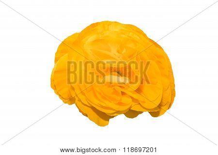 Yellow Persian Buttercup Flowers (ranunculus).