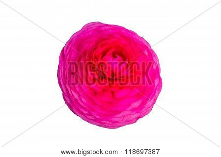Pink Persian Buttercup Flowers (ranunculus).