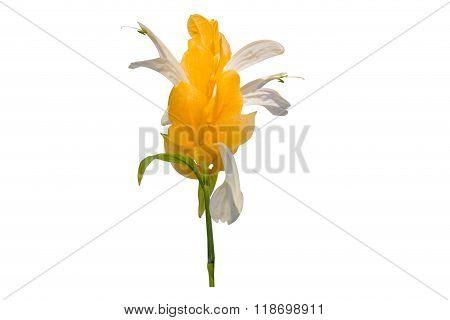 Pachystachys lutea yellow flower known as Lollipop Plant and Golden Shrimp Plant. poster