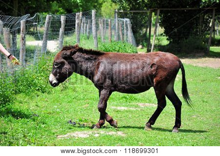 Brown donkey on a meadow aproaching to the animal keeper with grass on his hand.