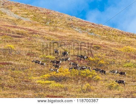 Caribou Herd Running Away Up The Mountain