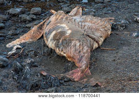 Beached Humpback Whale