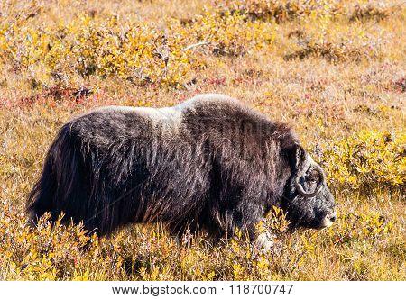 A Furry Musk Ox