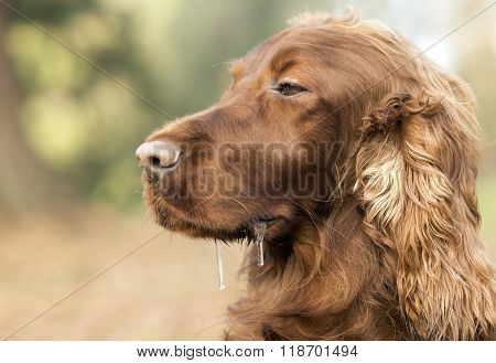 Sleepy dog drooling
