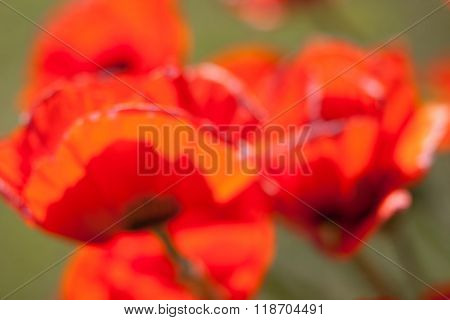 Red Poppies On Green Blurry Background
