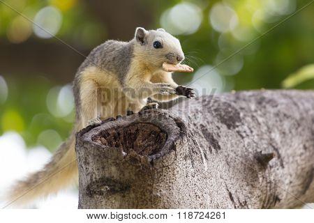 Variable squirrel (Callosciurus finlaysonii), eating on a cookie in a Bangkok's park, Thailand