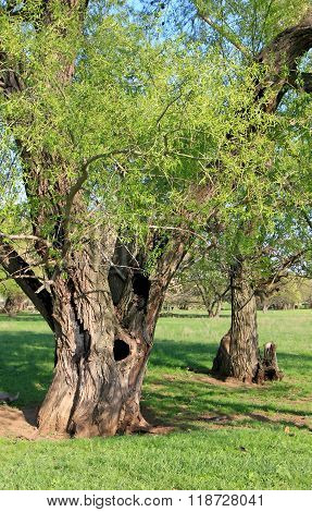 Two Old Trees Close-up