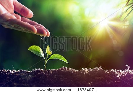 Care Of New Life - Watering Young Plant