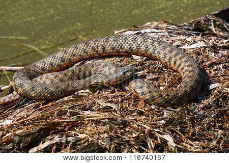 Snake Basks In The Sun On The Beach. Animal