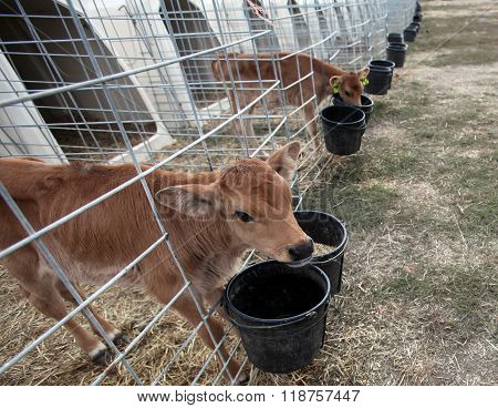 A baby cow enjoys a bucket of food at a California farm. ** Note: Shallow depth of field