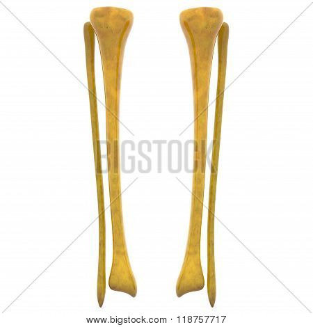 Human Skeleton Tibia and Fibula Bones