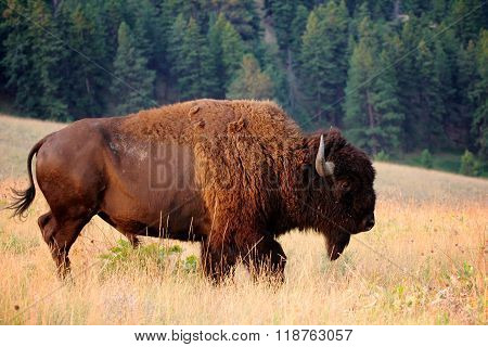 American Bison Horizontal Profile