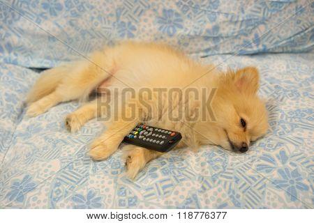Cute Dog Fell Asleep Because Tv Is Boring