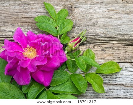 Deep Pink Rugosa Rose Flower With Leaves And Bud