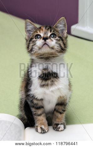 Pretty Kitten Looking Up