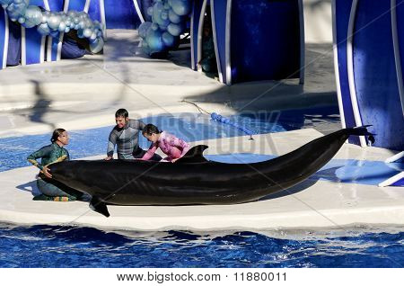 False Killer Whale With Three Trainers