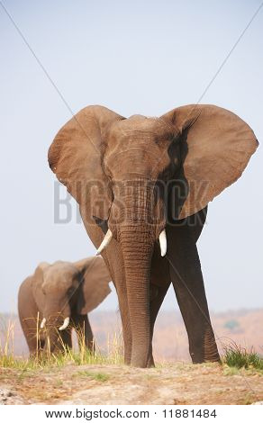 Large African Elephants