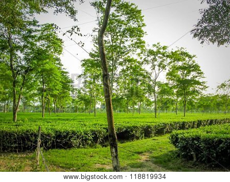 A tea estate of Assam