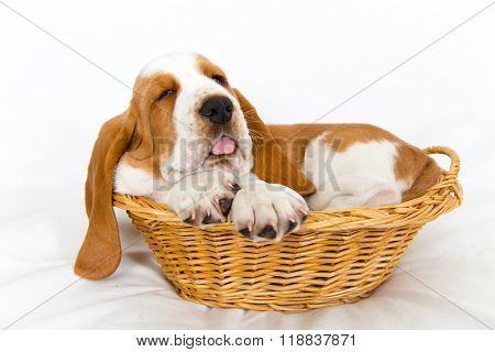Baby Basset In Basket