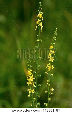Yellow flower spikes of a plant in the rose family (Rosaceae), growing on calcareous grassland poster