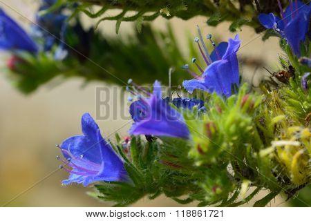 Viper's bugloss (Echium vulgare) close up