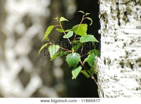 Betula alba