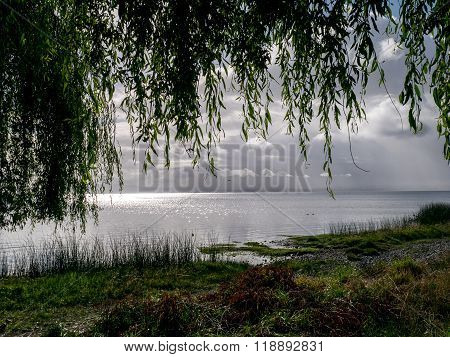 weeping willow, chile, near of Puerto Varas