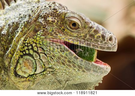 Close-up Of A Green Iguana Resting