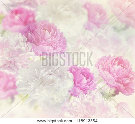 Pink and White Peony Flowers for Background