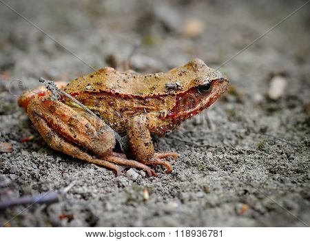 Common Brown Frog (rana Temporaria)