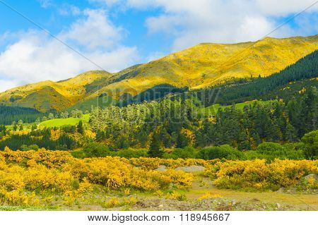 Beautiful mountains of New Zealand covered by blooming yellow gorse (Ulex europaeus)
