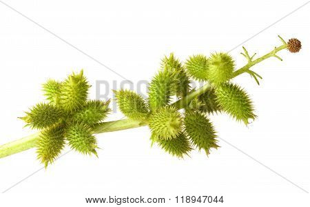 Close-up of cocklebur (Xanthium) branch with sticky seedpods poster