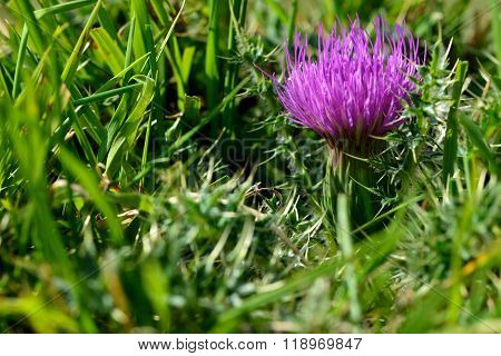 Dwarf thistle (Cirsium acaulon)