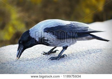 Crow in a park, closeup