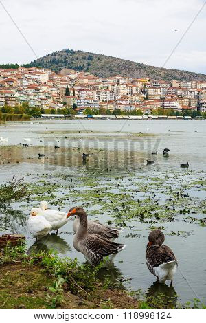 Kastoria, With Ducks And Lake