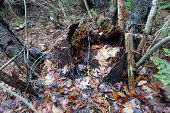 A rotted tree stump on the forest floor in the Naas-Raunecker Nature Center of Harbor Springs, Michigan, during December. poster