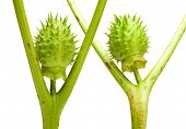Macro of Datura seedpods isolated on white similar to human figures poster