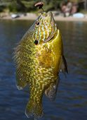 Bluegill caught on worm and hook in summer poster