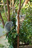 koala bear climbing tree with another one sleeping beside poster