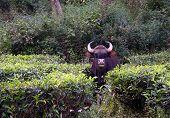 Gaur in the tea plantation in Valparai, South India poster