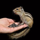 Trust. Chipmunk on hand on a black background poster