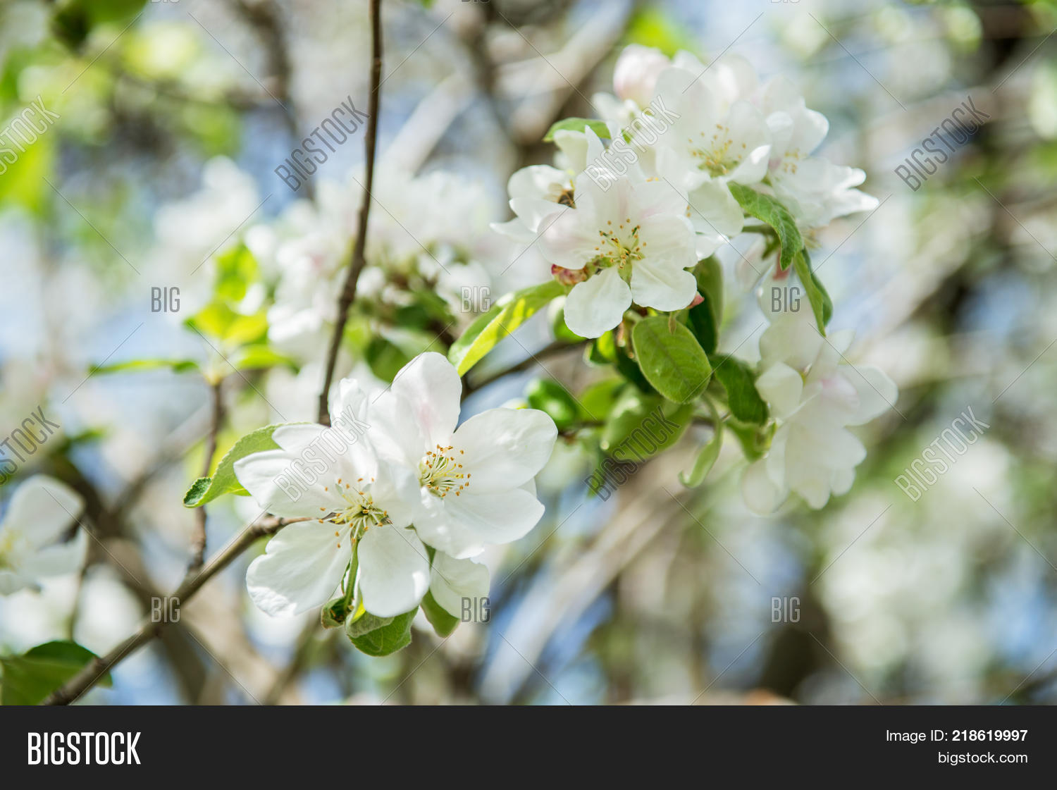 Apple Blossoms Image Photo Free Trial Bigstock