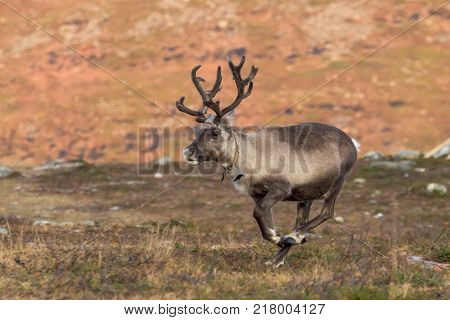 Running reindeer looking for santaclaus with a bell on the neck