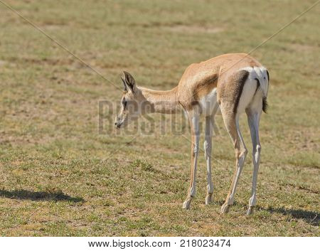 Closeup of a young Grant's Gazelle (scientific name: Gazella granti, robertsi or