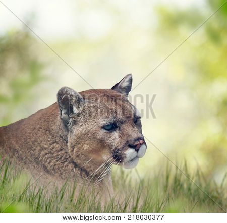 Florida panther or cougar, close up portrait
