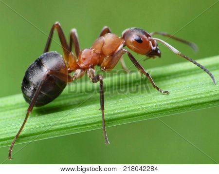 big red and black color ant in leaf